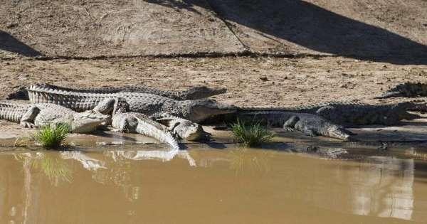 100 krokodilë arratisen në Afrikën e Jugut, vazhdojnë kërkimet