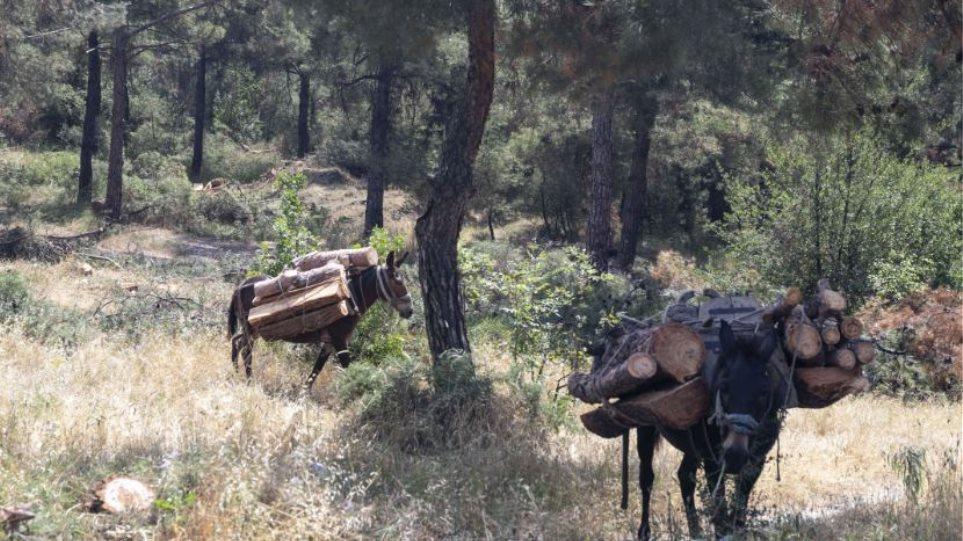 Mbaruam pyjet tona, tani po i sulemi atyre fqinje: Shqiptari kapet me 2 kuaj dhe 3 mushka duke prerë dru në Kostur
