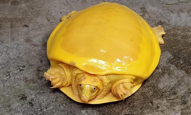 Gjendet në Indi breshka e rrallë me ngjyrë të verdhë