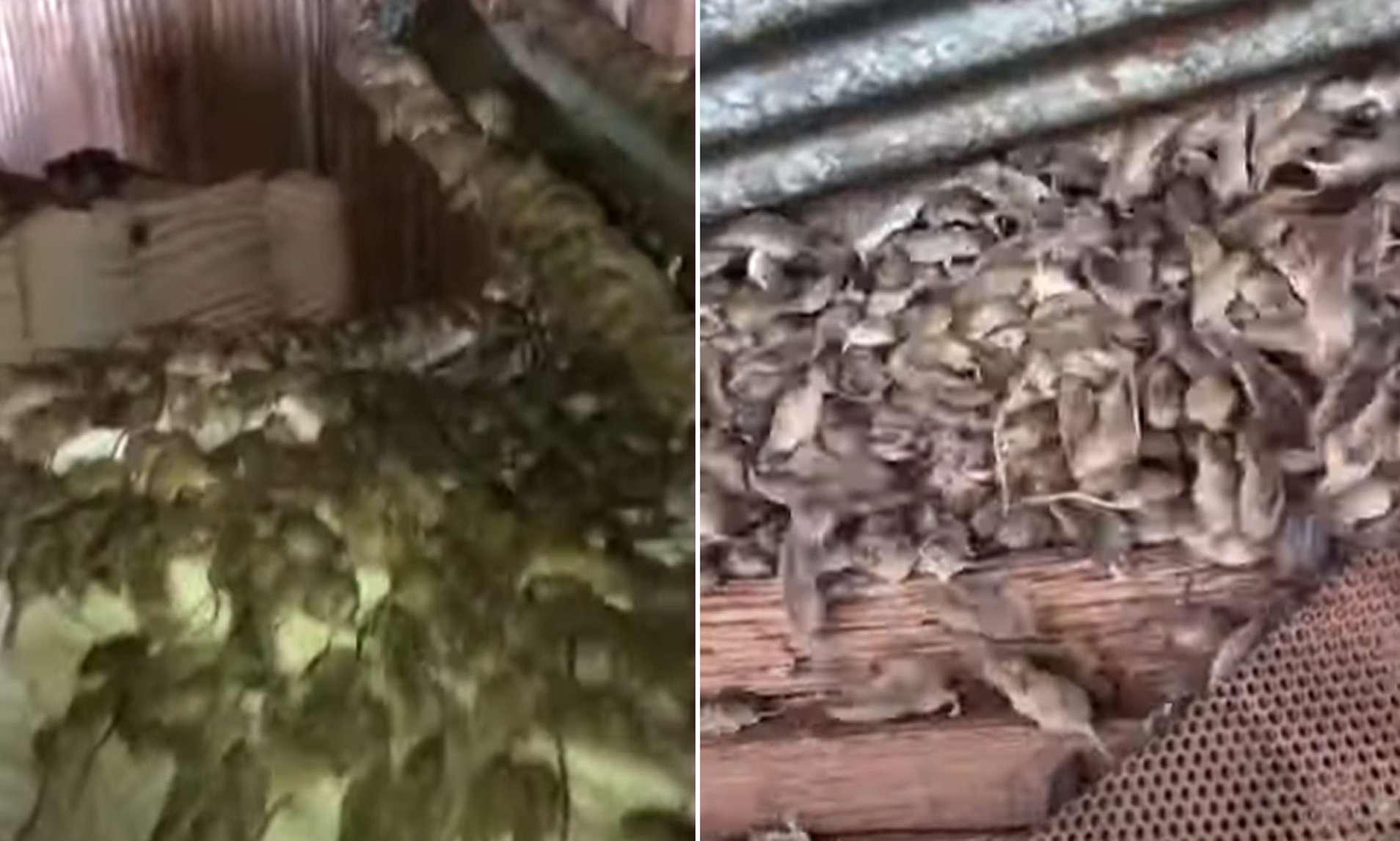 VIDEO/ Momenti kur fermeri gjen mijëra minj në magazinën e tij