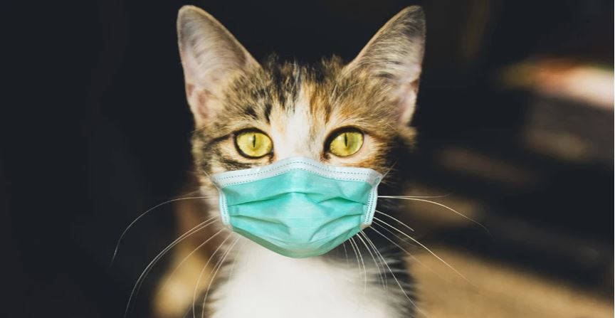 Macet mund të marrin koronavirusin nga njerëzit: E konfirmojnë studimet britanike