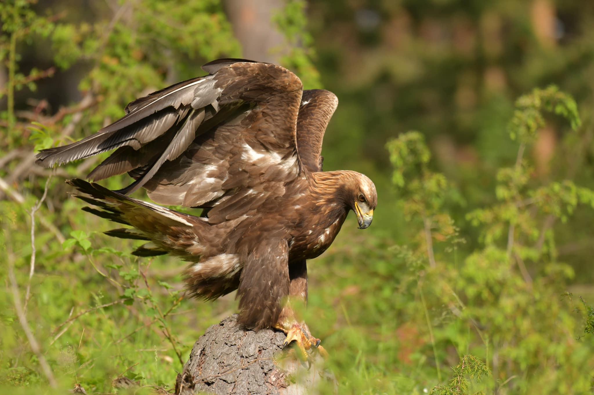 """Simboli jonë kombëtar, Shqiponja """"rreh flatrat"""" në Bjeshkët e Rugovës"""