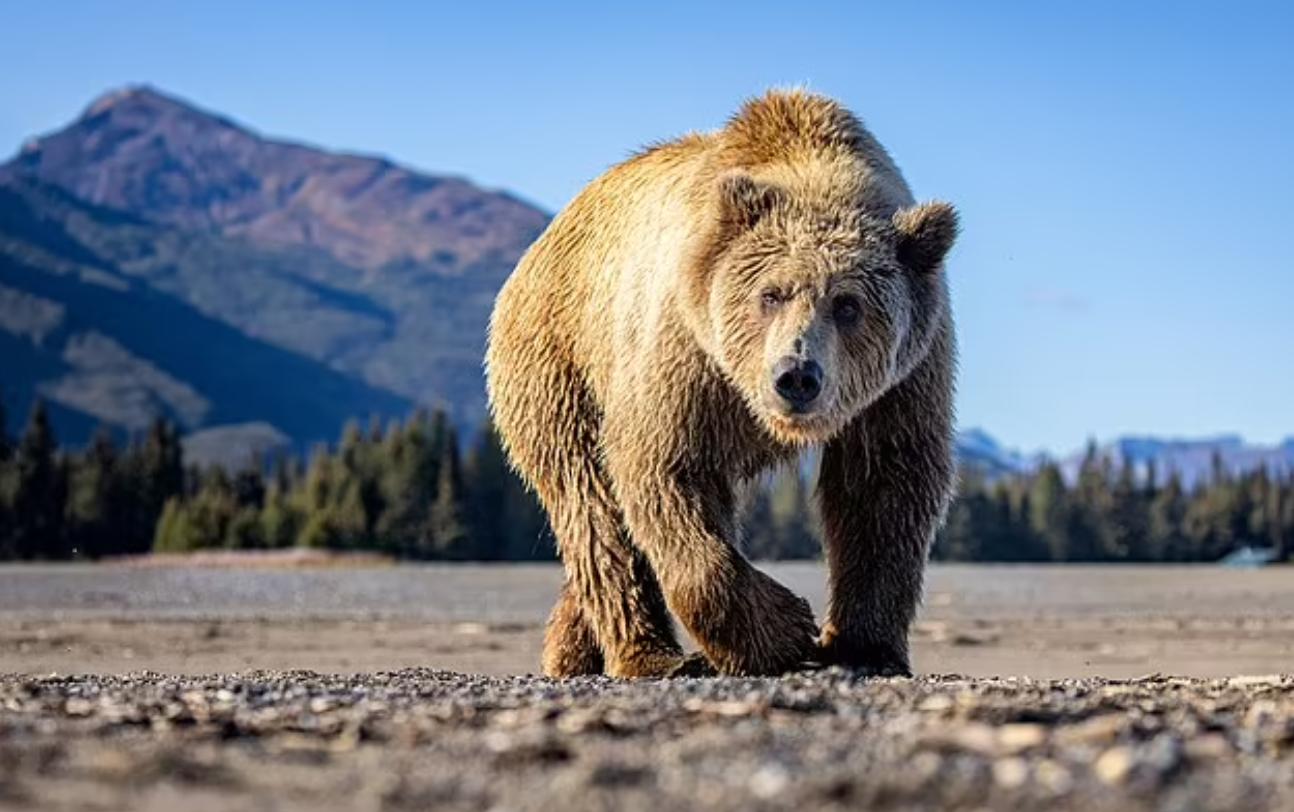 10 sekonda terror, shpëton për mrekulli pas përballjes me ariun burri nga Alaska
