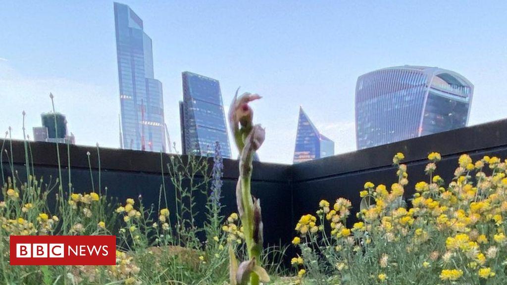 Zbulohen orkidetë e rralla në Londër