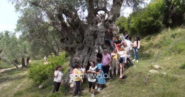 Gjormi, fshati me ullinjtë 2 mijë vjeçar fton turistët