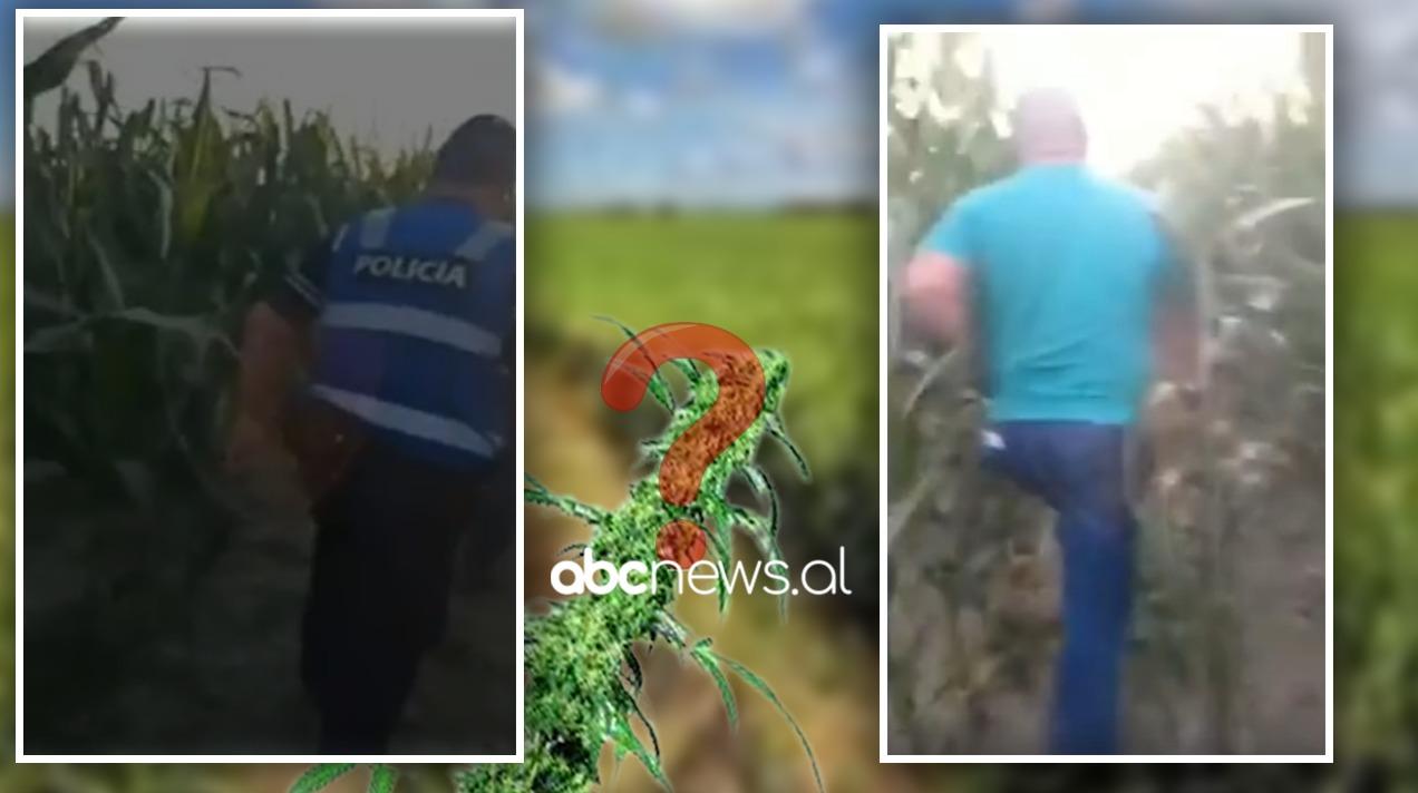 Qytetari denoncoi kultivimin e kanabisit, policia Fier: Në toka ka vetëm prodhime bujqësore