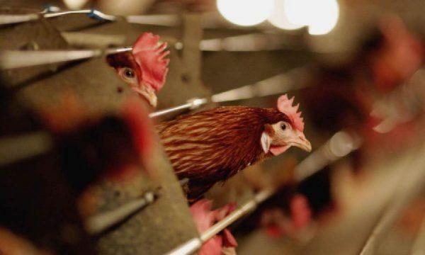 Kosova mposht Gripin e Shpendëve, prej sot fermerët janë të lirë të tregtojnë