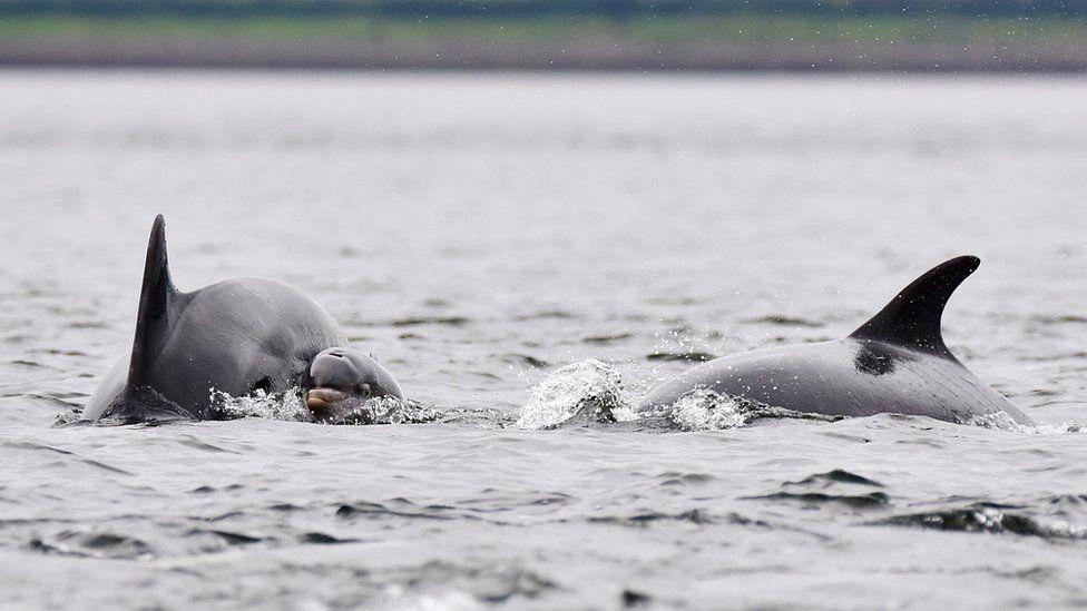 """Delfinët """"alarmojnë"""" shpëtimtarët për një notar të humbur"""