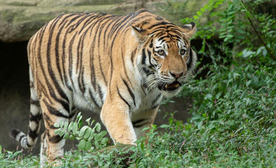 Indonezi, 2 tigra rezultojnë pozitivë me Covid