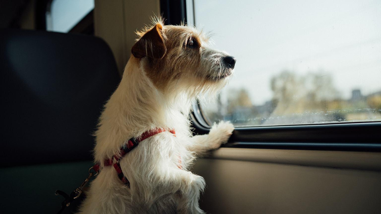 Qeni i humbur udhëtoi 380 kilometra për t'u kthyer në shtëpi