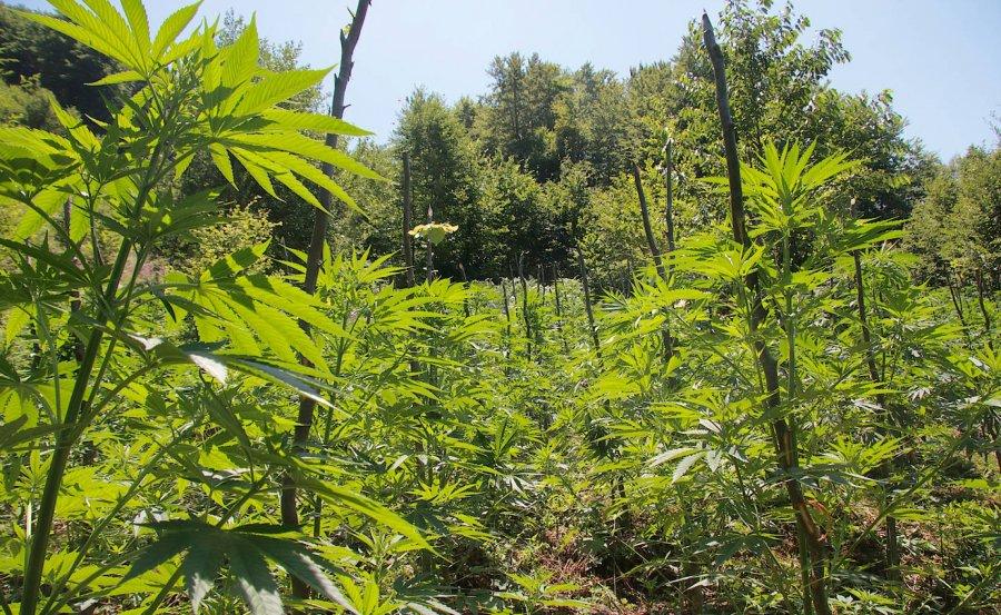 Kanabis i mbjellë në një zonë të pyllëzuar, një i arrestuar në Skrapar