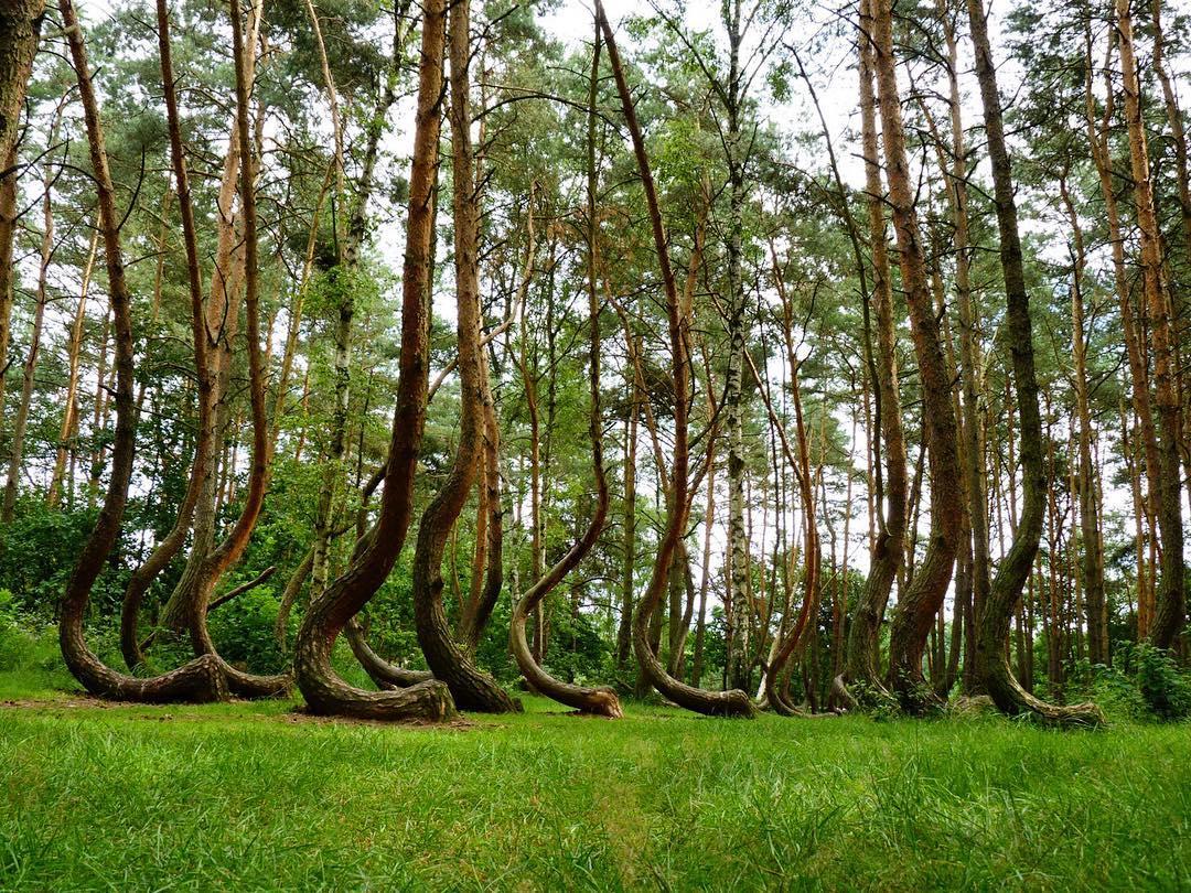 """Misteri që qëndron pas këtij """"pylli të shtrembër"""""""