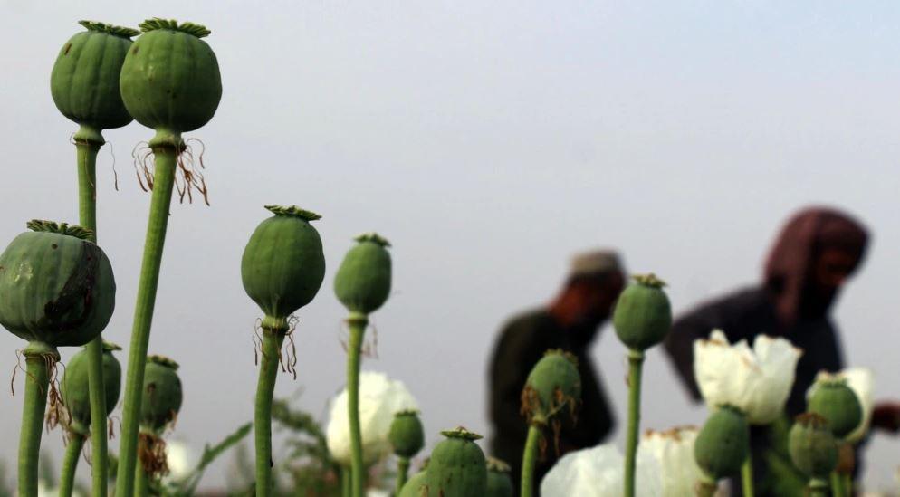 Si fitojnë talebanët nga prodhimi i opiumit?