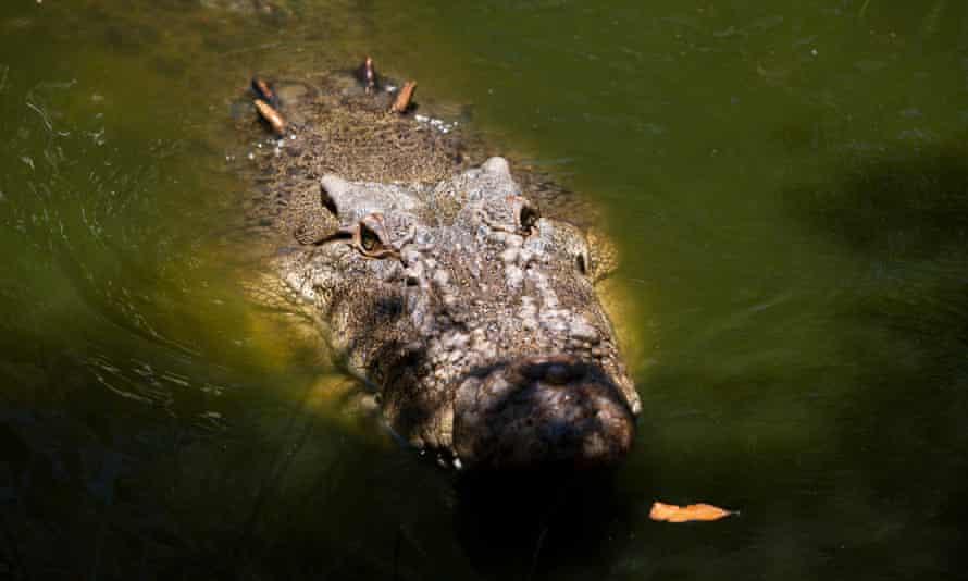 Krokodili sulmon 60-vjeçarin, dërgohet me urgjencë në spital