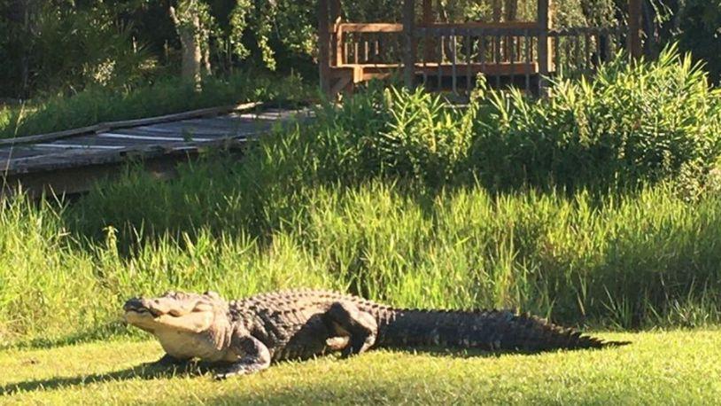 Ngordh aligatori që ishte gjallë që nga Lufta e Dytë Botërore