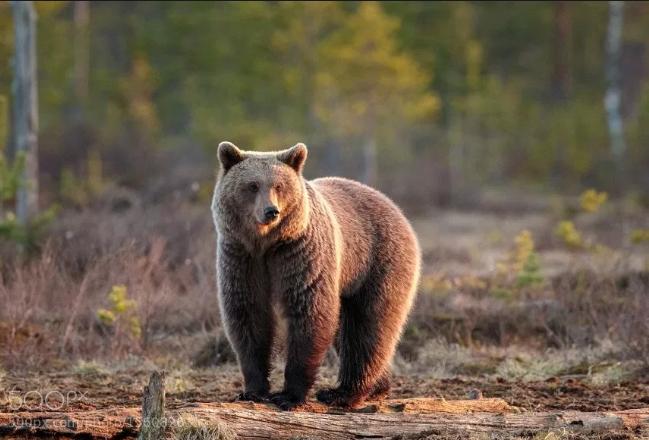 Mysafiri i paftuar, ariu futet në park, alarm në Prishtinë