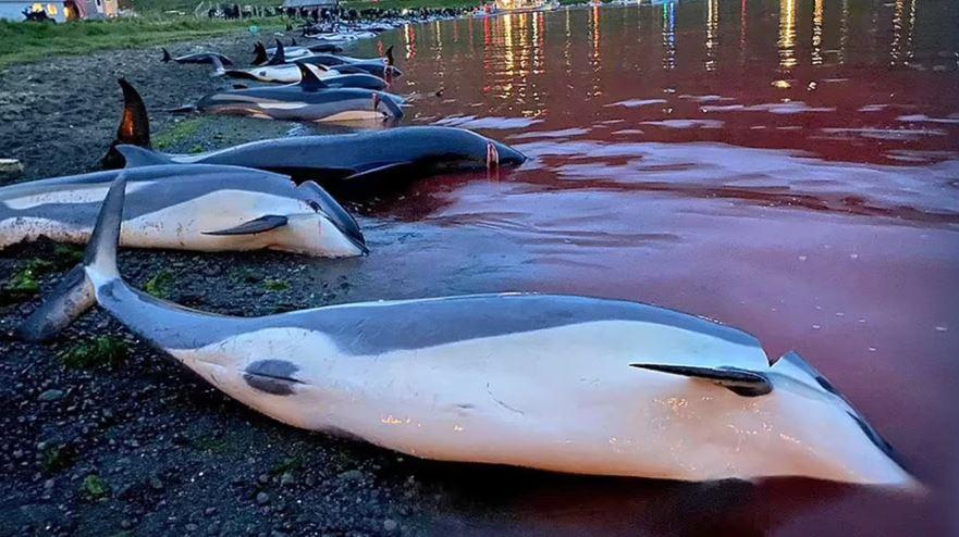 Masakër në Ishujt Faroe, deti ngjyroset me gjakun e 1428 delfinëve të vrarë për traditë